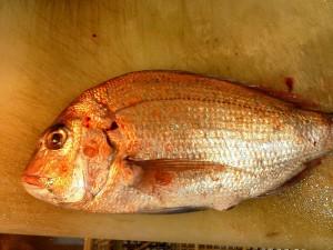 淡路島の鯛1